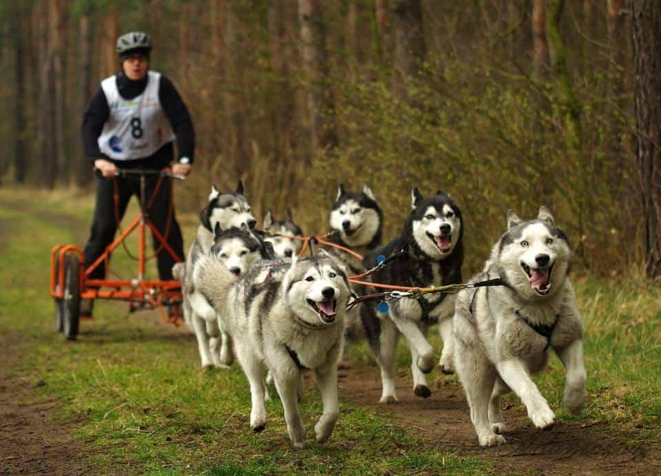 Mushing ruedas deportes de invierno