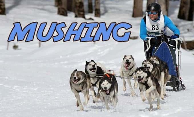 Mushing trineo perros
